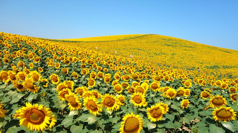 死ぬまでに一度は見たい黄色の絶景特集!自然が作り出した黄色の世界から黄色の町まで