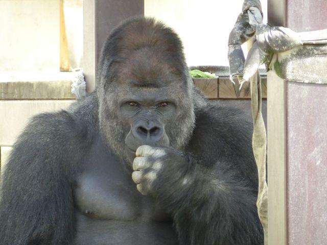 イケメンゴリラに会いに行こう!東山総合公園の「シャバーニ」!!