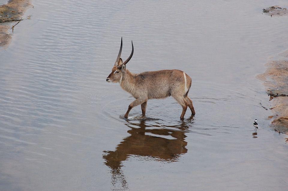 南アフリカのサファリで出会える動物ガイド【草食動物編③】