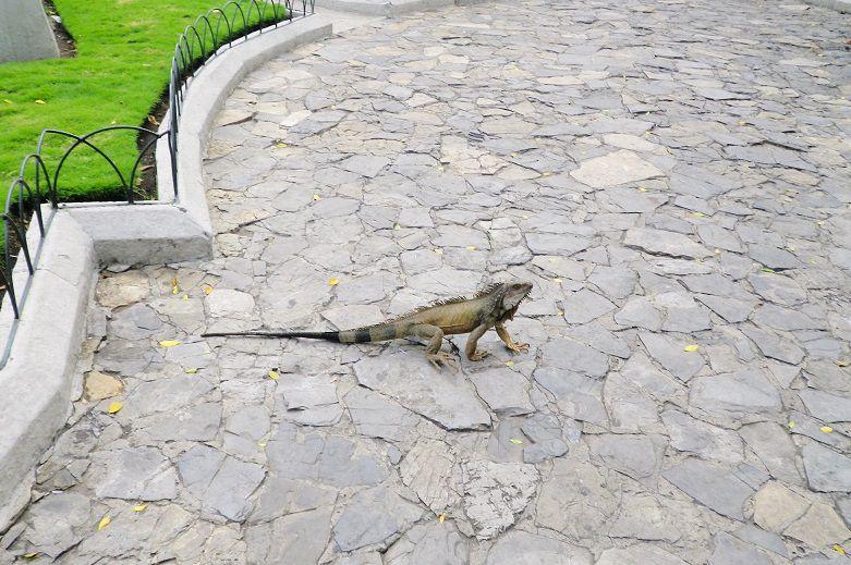 エクアドル・グアヤキル観光の穴場スポット!セミナリオ公園はイグアナの楽園!