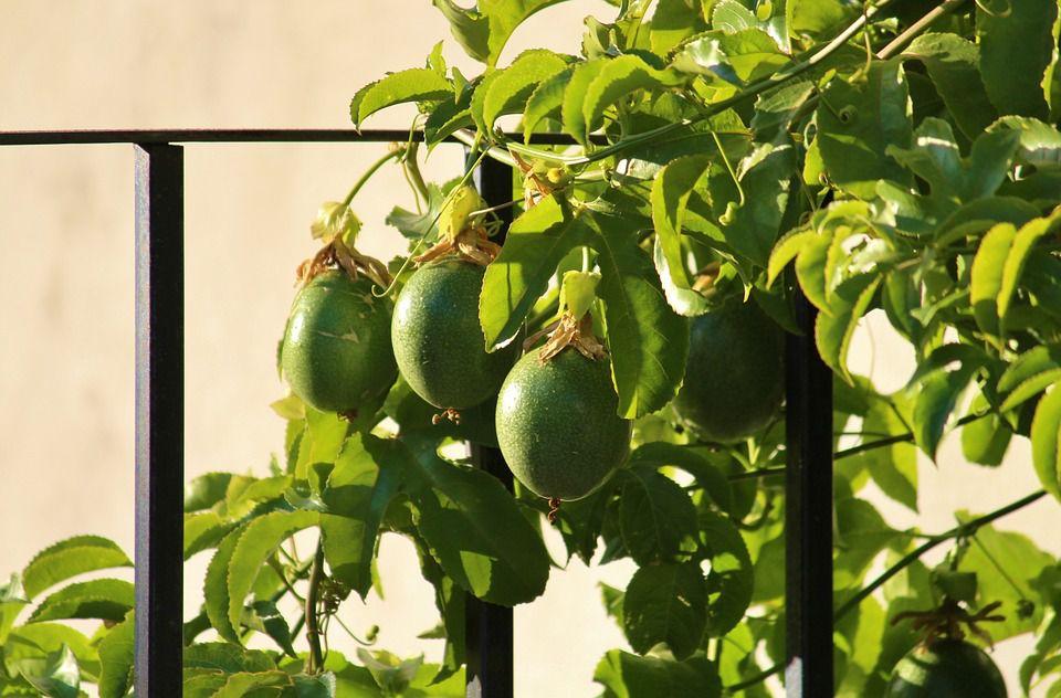 アサイーもブラジルの果物?!現地で食べられるブラジル産フルーツ図鑑