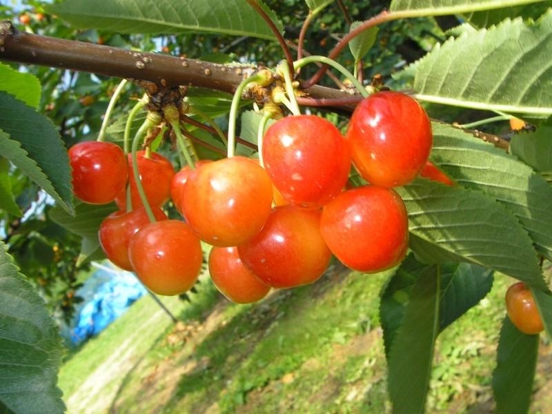 青森県おすすめさくらんぼ狩りスポット4選!さくらんぼの収穫量日本一の地でフレッシュな大粒を