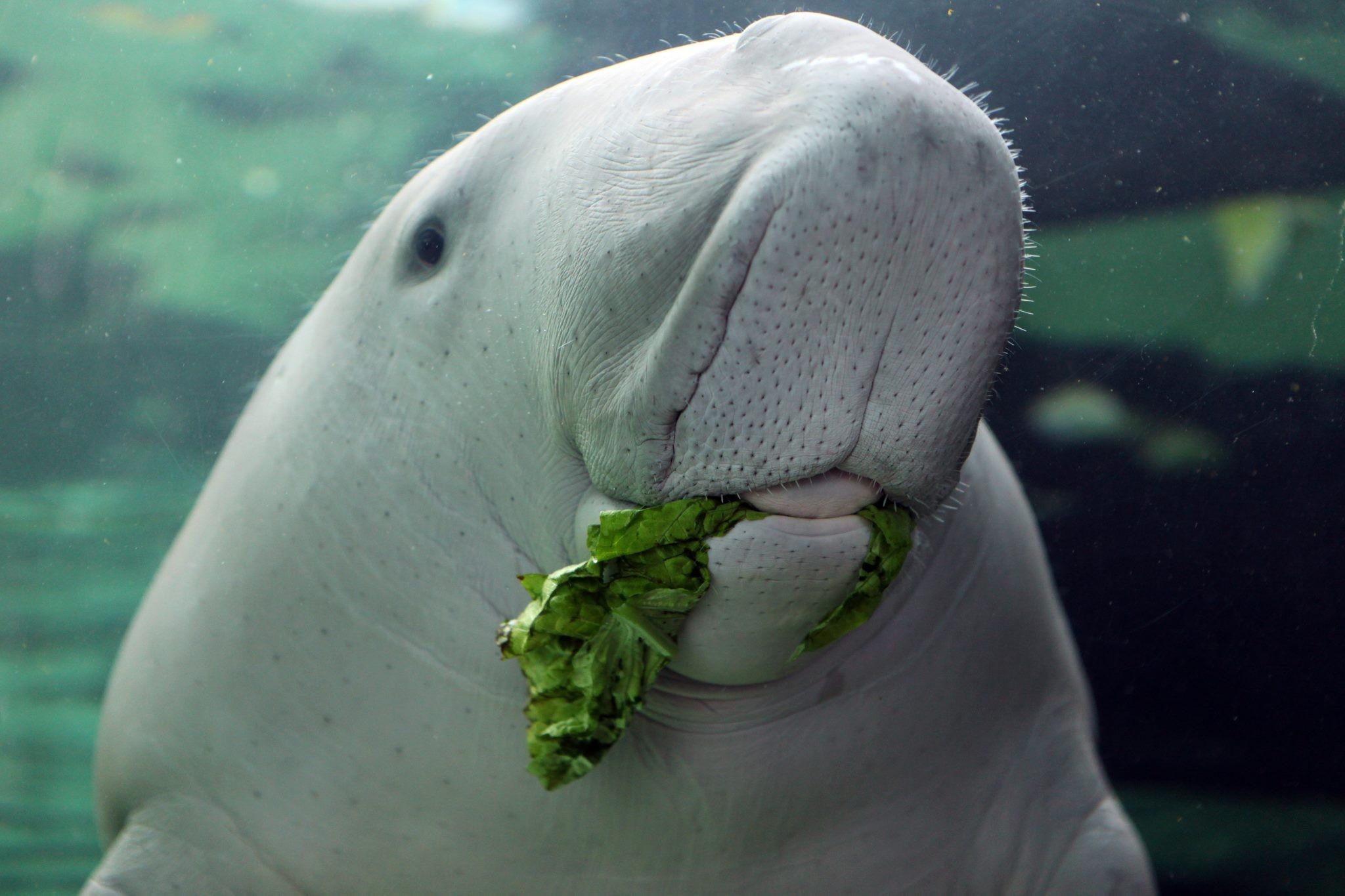 世界で4か所だけ!ジュゴンを飼育しているジュゴンに会える水族館4つ
