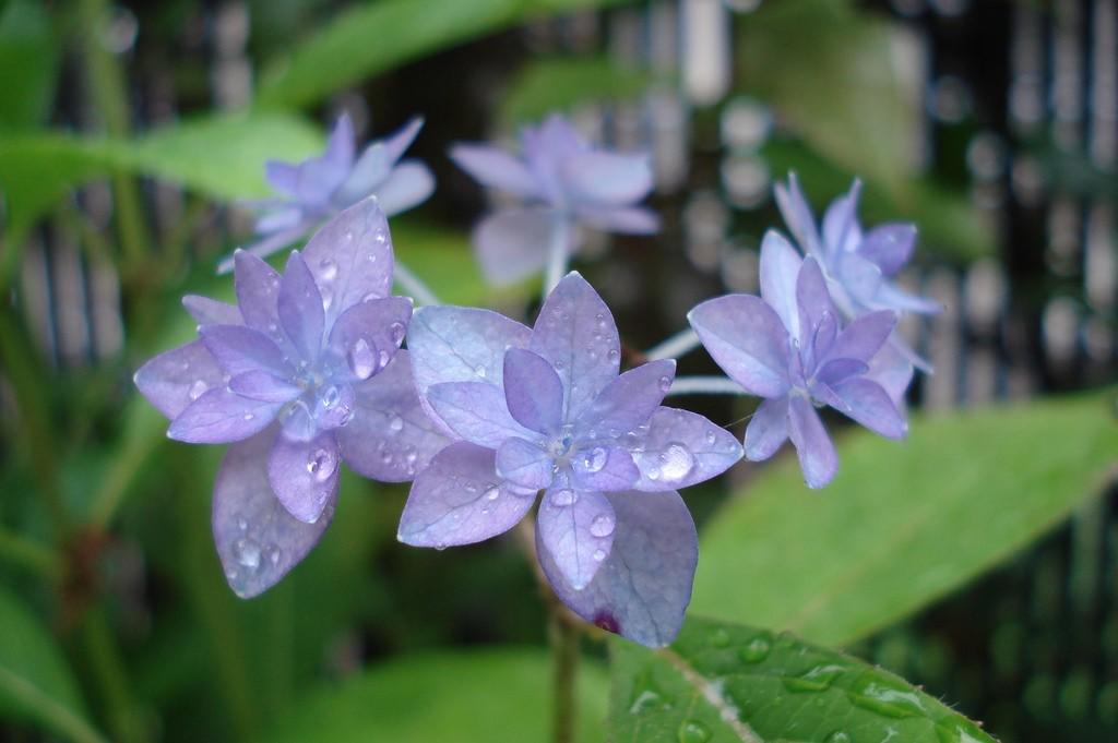 梅雨を彩る紫陽花を楽しむ!日本東西の紫陽花スポット5選
