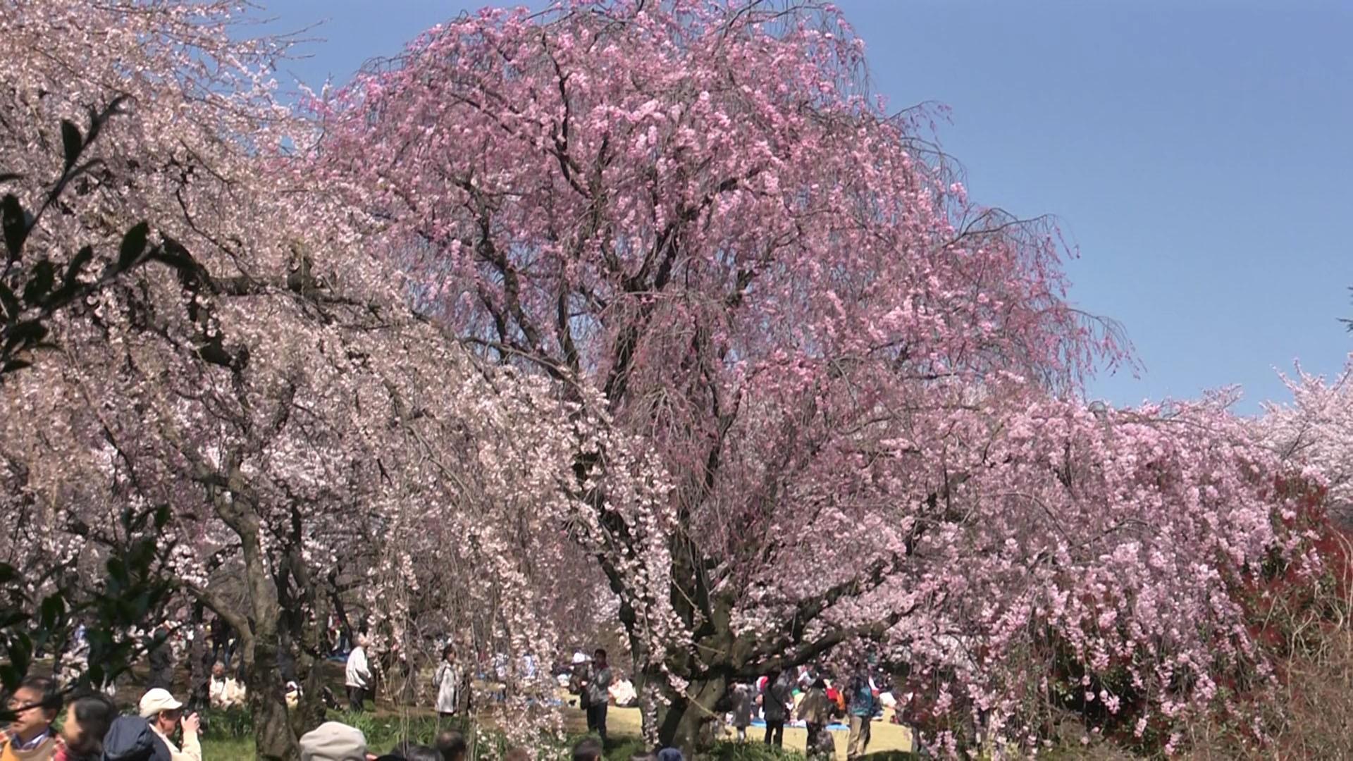 お花見はやっぱり新宿御苑で!桜を楽しむために知っておきたいポイント