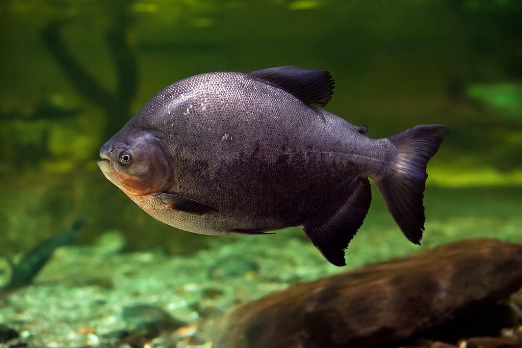 アマゾン、メコン、ナイル…世界の河を魚で巡ろう!地域別いろいろ珍魚特集
