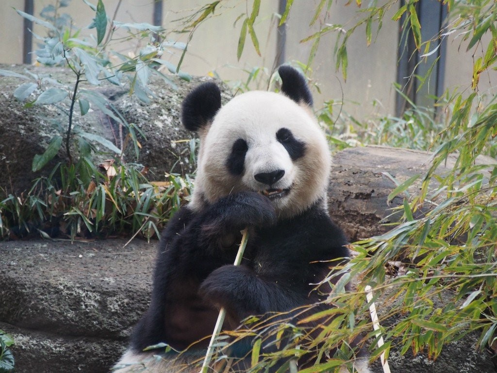 上野動物園の混雑は避けられる?来園時間を工夫してパンダを見よう