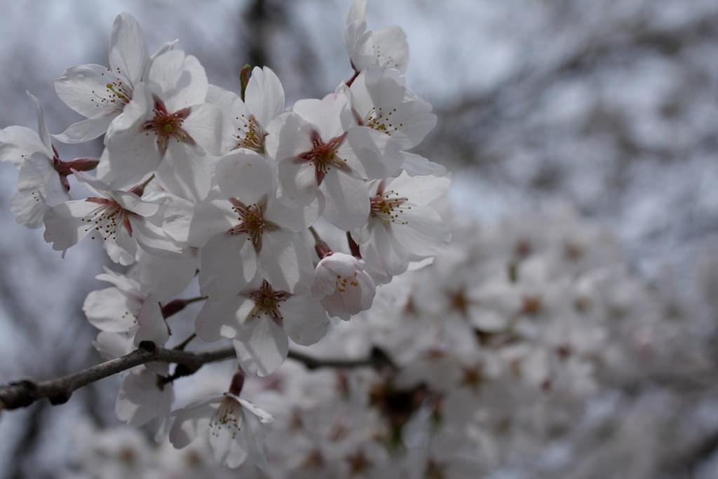ゴールデンウィークは札幌でお花見!桜の綺麗なスポット5選