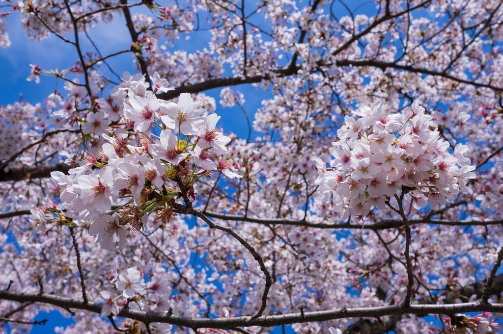 京都きっての桜の名所、円山公園へ出かけてみよう!