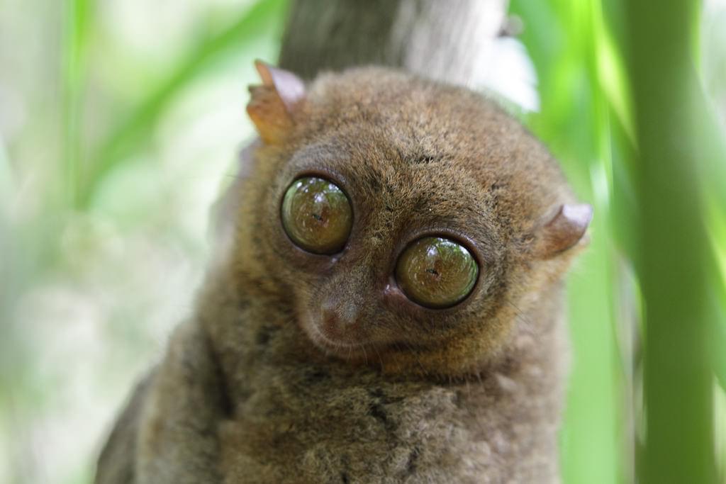 フィリピン・ボホール島の世界最小のメガネザル・ターシャに会いにいこう!おすすめ観光スポット紹介!