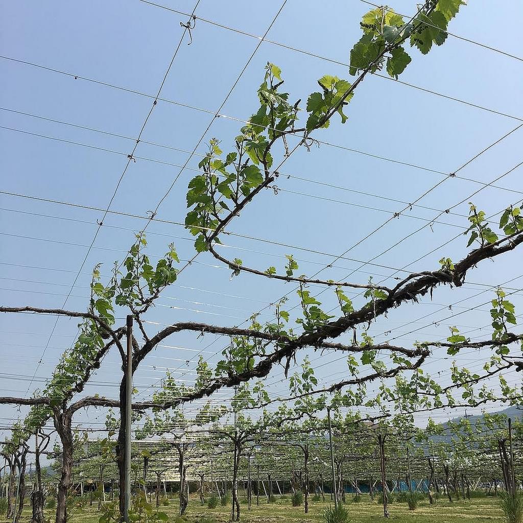 長野・信州ワインバレーおすすめスポット7選!原産地呼称制度が品質向上の秘訣