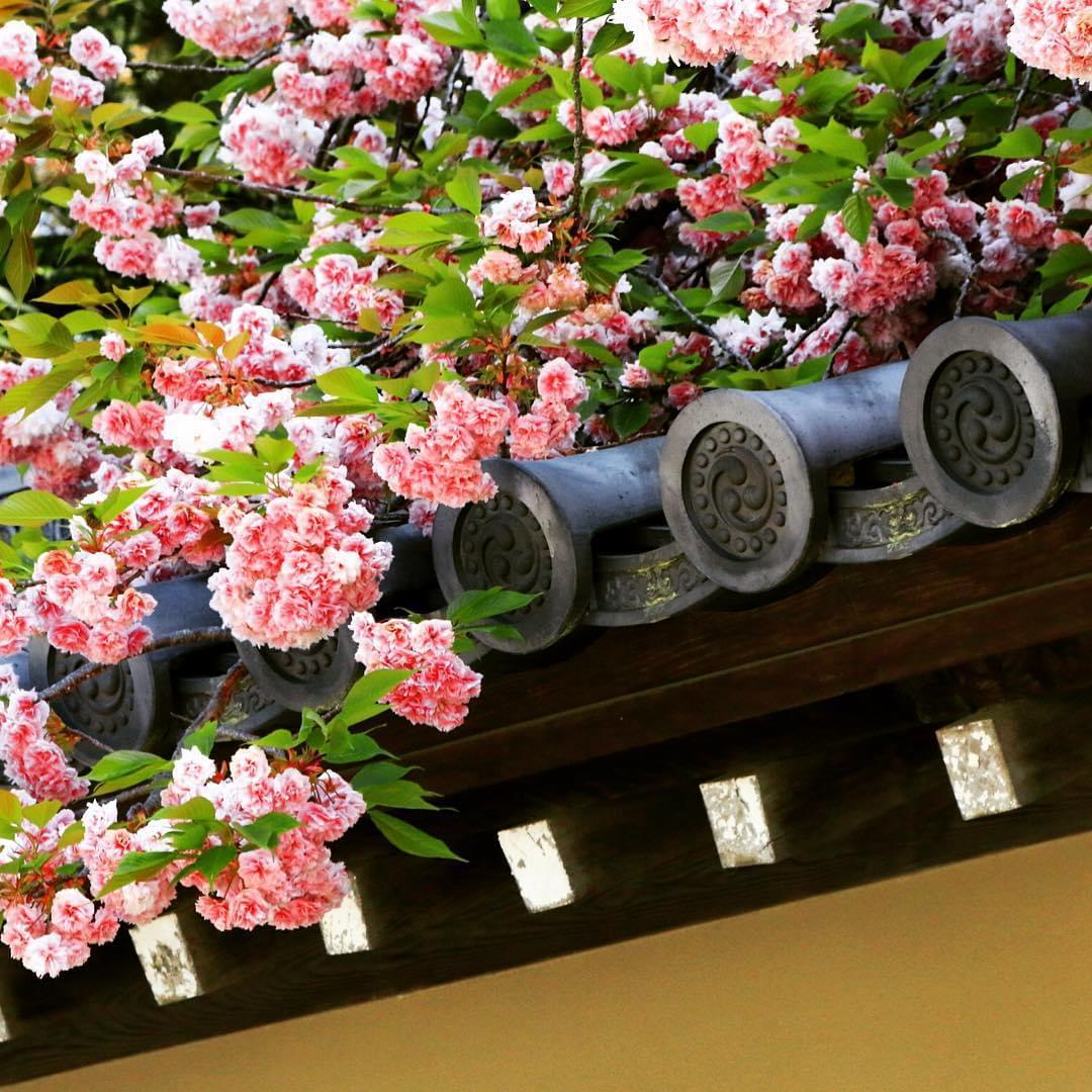京都の桜は京都御苑から、約1カ月のお花見を楽しもう!