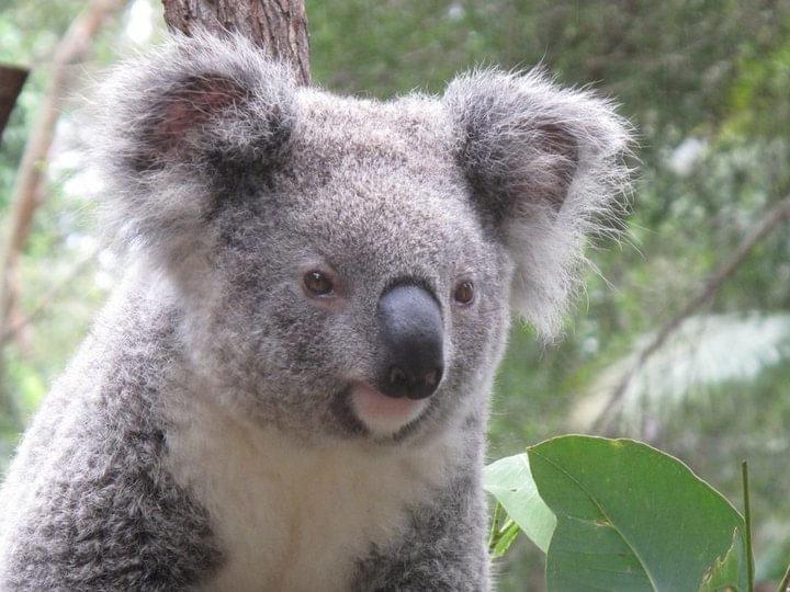 オーストラリアといえば!コアラ&カンガルーについて旅行前に知っておきたいこと!